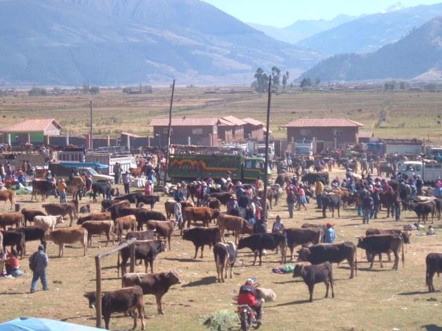 Cattle Market near Ayacucho