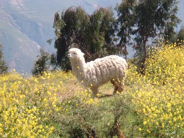 Llama, San Pedro de Casta