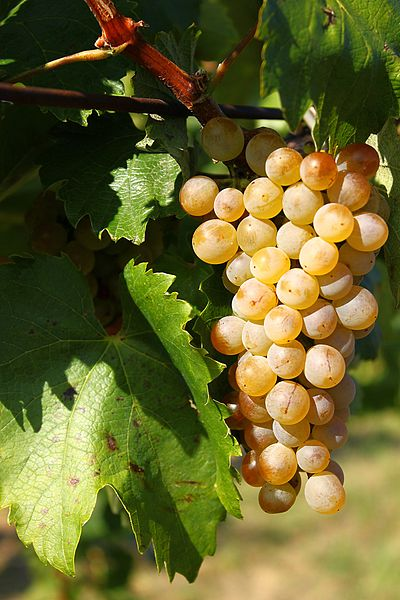 Cluster of Fermint grapes ready for making Tokaj  ©andrs.kovacs